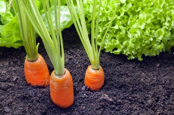 Garden center arredo giardino e prodotti per animali for Seminare aglio