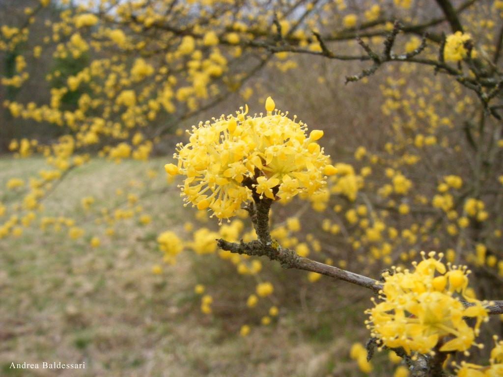 Arbusto A Fiori Gialli alla ricerca dei frutti perduti – il corniolo   garden