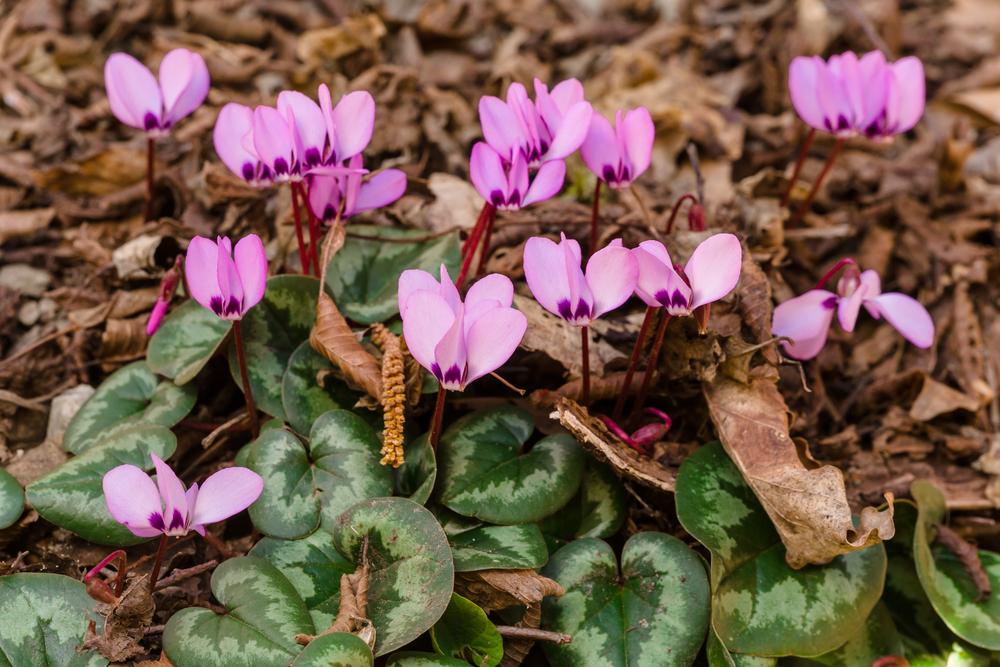 Lavori da effettuare in giardino e nell orto in autunno for Viola cornuta inverno